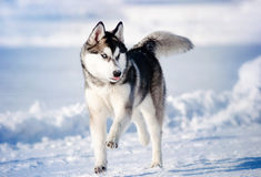Dog hasky running in winter Royalty Free Stock Images
