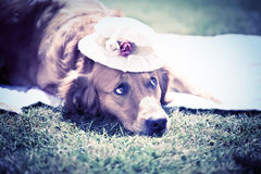 Dog in a Hat Royalty Free Stock Photos