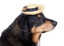 Dog with hat Stock Images