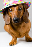 Dog and hat Royalty Free Stock Photo