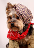 Dog with hat. Yorks terrier Stock Photos