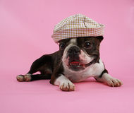 Dog with hat. A boston terrier with a hat on Royalty Free Stock Images