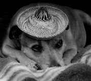 Dog with a hat. Staffordshire terrier (Staffie) wearing a straw hat Stock Photography
