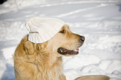 Dog with hat. Funny dog with white knitted hat Royalty Free Stock Images
