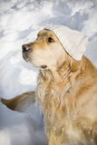 Dog with hat. Funny dog with white knitted hat Royalty Free Stock Image