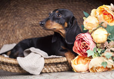 Dog in hat Stock Photos