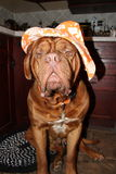 Dog with hat. Dogue de bordeaux with orange sun hat Royalty Free Stock Image