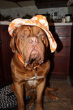 Dog with hat. Dogue de bordeaux wearing orange sun hat Royalty Free Stock Images