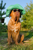 Dog with hat and glasses in the garden Stock Photos