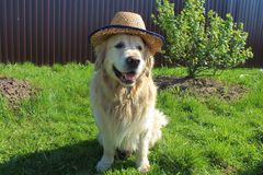 Dog with hat Stock Photography