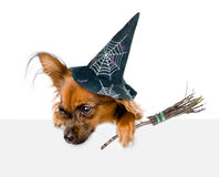 Dog with hat for halloween and with witches broom stick above white banner looking down.  on white background Stock Images