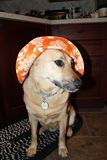 Dog with hat. Dog with orange sun hat Stock Photo