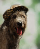 Dog in a hat - portrait of an Irish wolfhound Royalty Free Stock Images