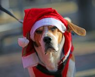 Dog with the hat of Santa Claus. Sad dog with the christmassy red hat of Santa Claus stock photos