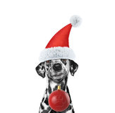 Dog in a hat of Santa Claus with xmas ball Royalty Free Stock Photography
