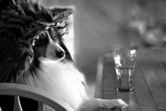 Dog with Hat Sitting at Bar with Drink Royalty Free Stock Image