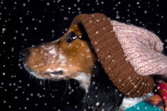 Dog with hat in the snow. This dog seems to be enjoying winter Royalty Free Stock Images