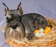 The dog hatches out eggs Stock Photography