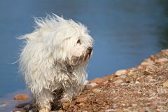 Dog - Havanese lakeside Royalty Free Stock Photos