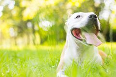Dog having a big smile Royalty Free Stock Photography