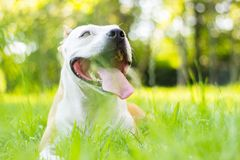 Dog having a big smile Royalty Free Stock Photo