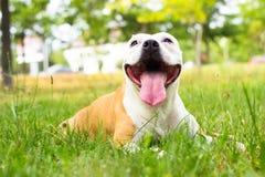Dog having a big smile Royalty Free Stock Photo