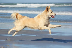Dog having fun on the beach. A beautiful dog leaping for joy on the beach with waves breaking in the background royalty free stock images