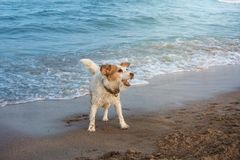 DOG HAVING FUN ON BEACH ON SUMMER. JACK RUSSELL COVERED WITH SAND AND PLAYING ON VACATIONS stock image