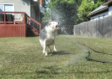 Dog having fun biting water in the backyard. Pets getting wet. animals. canine. dogs. canines Stock Photos