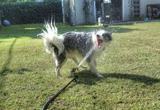 Dog having fun biting water in the backyard. Pets getting wet. animals. canine. dogs. canines Stock Photo