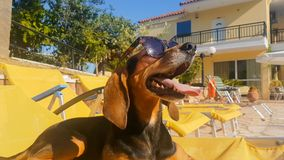 Dog having fun on a chaise longue wearing sunglasses. A happy summer moment. stock photos