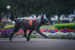 A dog having fun with paints of holi royalty free stock photography