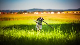 Dog having fun running towards camera with stick in mouth fetching towards camera in summer day. On meadow field royalty free stock images