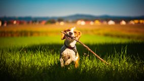 Dog having fun running towards camera with stick in mouth fetching towards camera in summer day. On meadow field stock photo