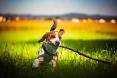Dog having fun running towards camera with stick in mouth fetching towards camera in summer day on meadow. Field stock photo