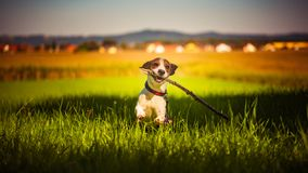 Dog having fun running towards camera with stick in mouth fetching towards camera in summer day. On meadow field royalty free stock image