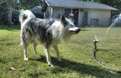 Dog having fun with water in the backyard. Pets getting wet. animals. canine. dogs. canines Stock Photos