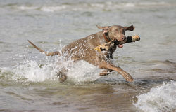 Dog having fun in the water. Young active dog is having fun in the sea. Retrieving a big stick from the water. Summer holidays with a pet royalty free stock image