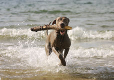 Dog having fun in the water. Young active dog is having fun in the sea. Retrieving a big stick from the water. Summer holidays with a pet Stock Images