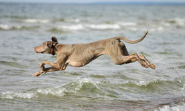 Dog having fun in the water. Young active dog is having fun in the sea. Summer holidays with a pet royalty free stock photography
