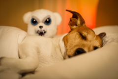 Dog having a nightmare or bad dream. Jack russell dog  sleeping under the blanket in bed the  bedroom, ill ,sick or tired,having a nightmare or bad dream LOW Stock Images
