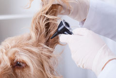 Dog having otoscope examination Royalty Free Stock Image
