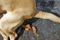 Dog having a poo Stock Photos
