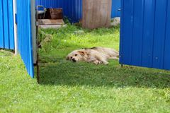 A dog having rest in the noon. A caramel-colored dog with long ears having rest on the green grass behind the blue gates Stock Photos