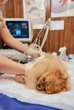 Dog having ultrasound scan in vet office. Pomeranian dog having ultrasound scan in vet office Stock Photography