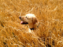 Dog profile - sitting in the hay. Dog profile golden Labrador sitting in the hay Stock Images