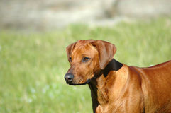 Dog head Stock Photography