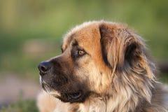 Dog head Royalty Free Stock Photo
