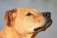 Dog Head. Profile shot of a wet dog intune with his owner stock photography