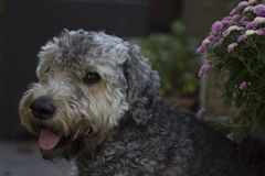 Dog. A head of a dog Royalty Free Stock Photos